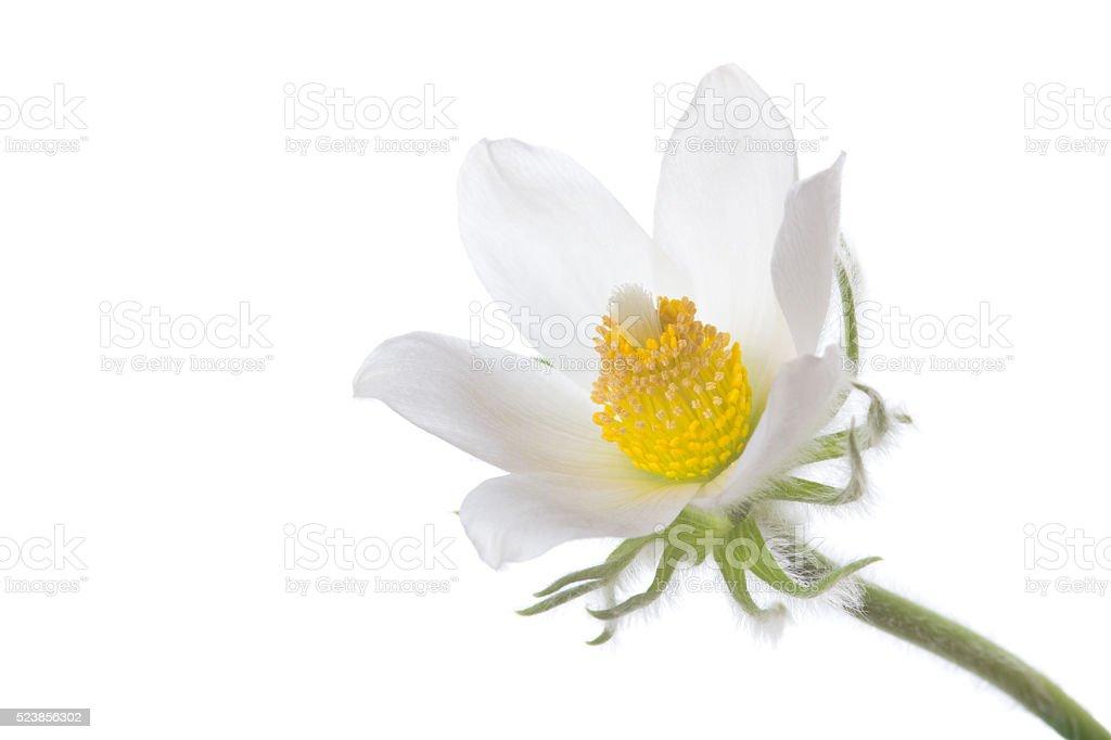 Pasqueflower stock photo