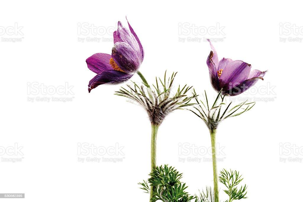 Pasqueflowers, close-up stock photo