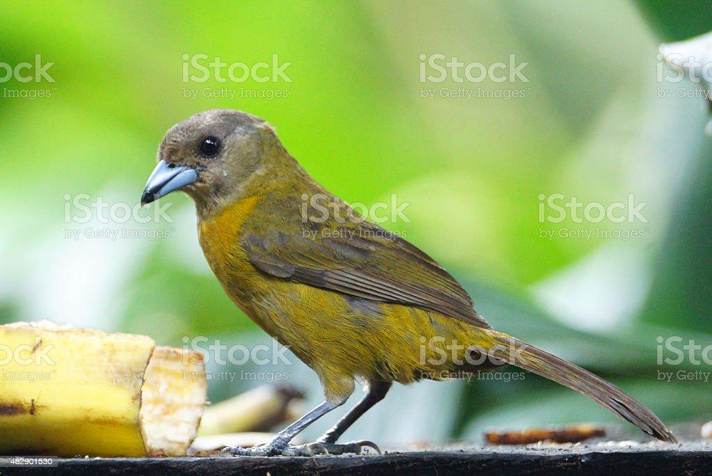 Passerini's tanager stock photo