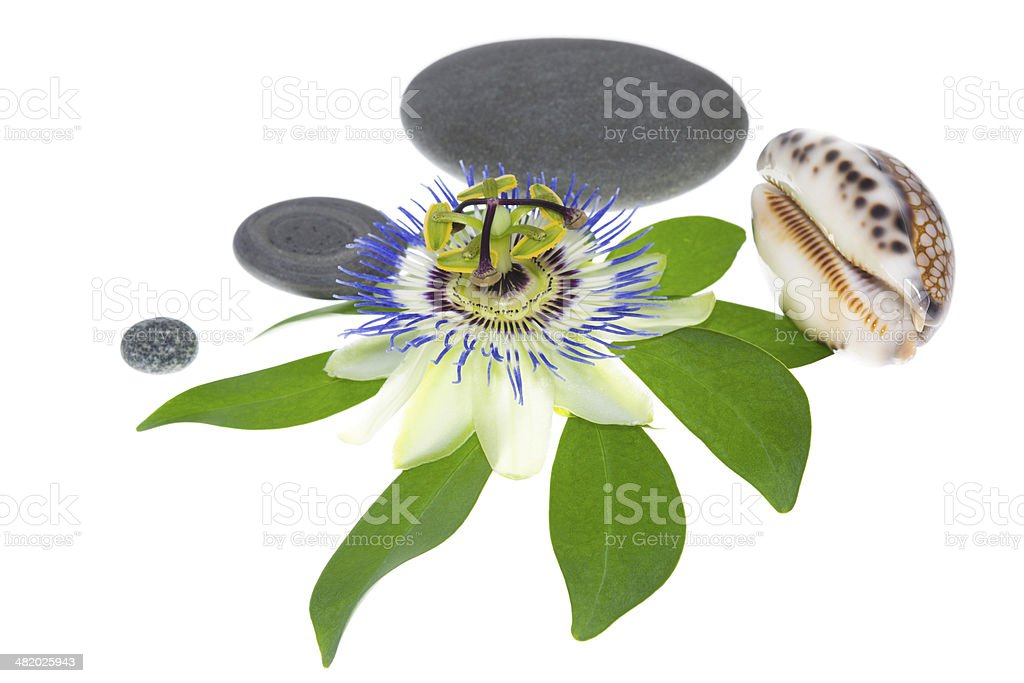 passiflora flower with stones and cockleshells on a leaf stock photo