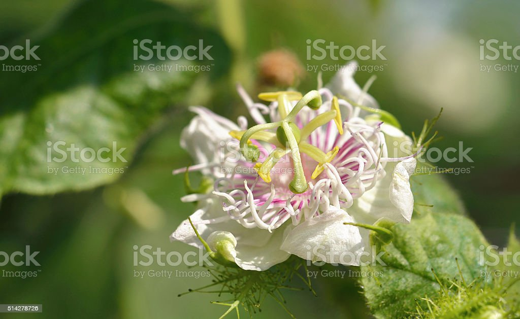 Passiflora foetida blossuim spring stock photo