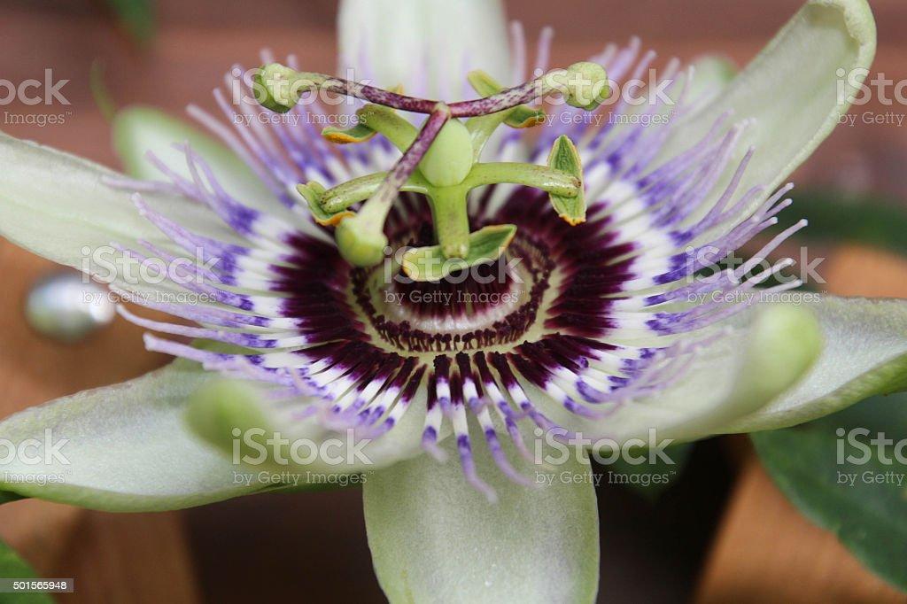Passiflora in fiore stock photo