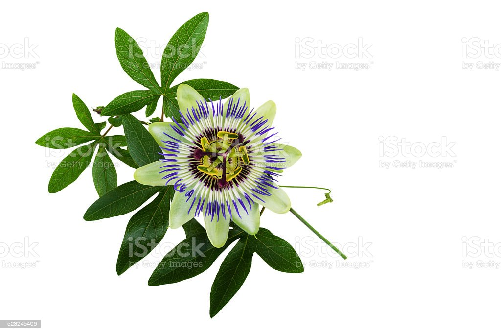 Passiflora or Passion Flower. Homeopathic plant. stock photo