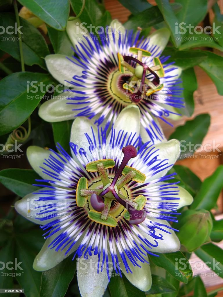 Passiflora - Passionsblume stock photo