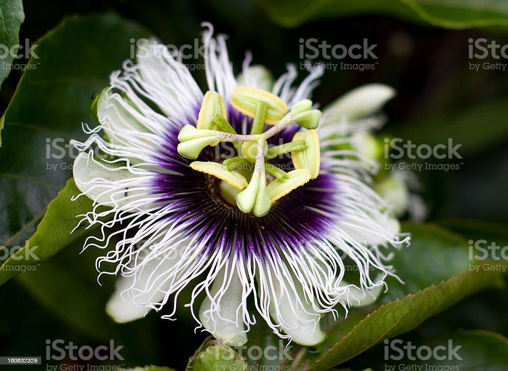 Passiflora stock photo