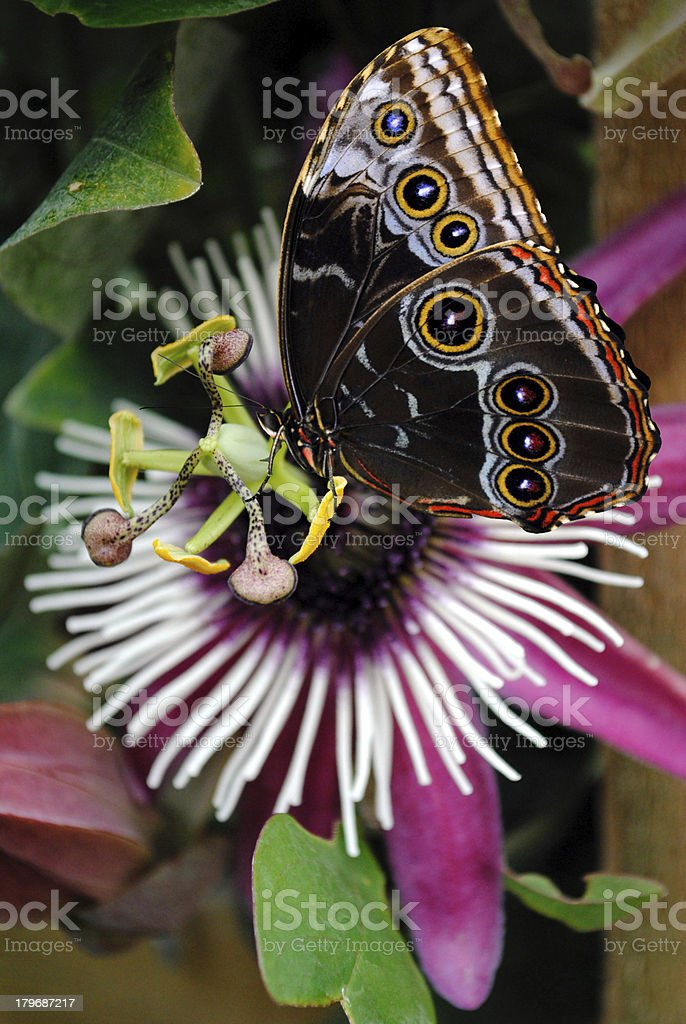 Passiflora VIOLACEA flower and a Blue Morpho butterfly royalty-free stock photo