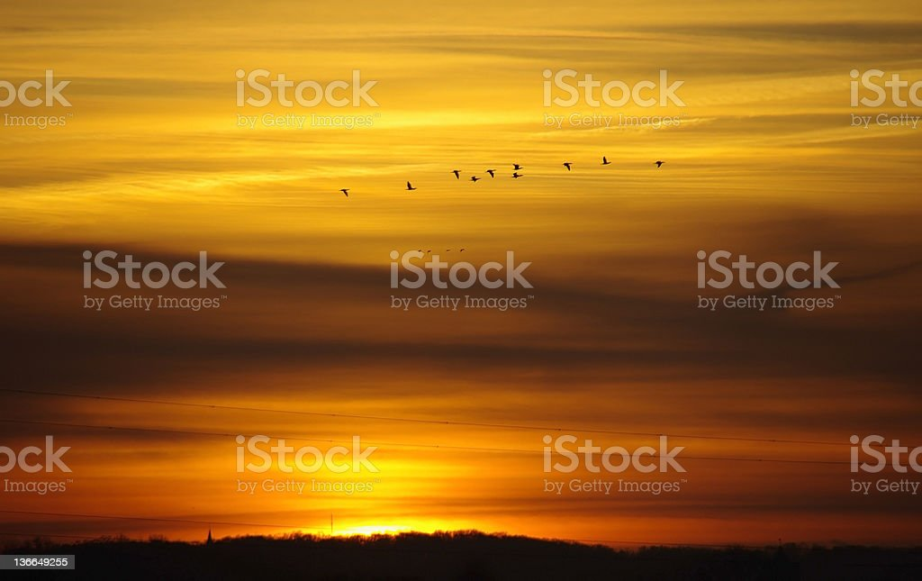 Passing geese at sunrise royalty-free stock photo