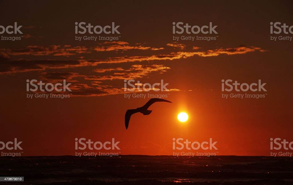Passing seagull at sunset stock photo