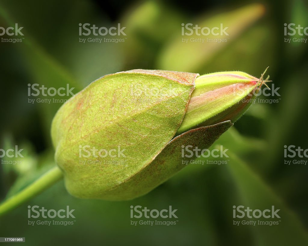 Passion Flower Bud stock photo