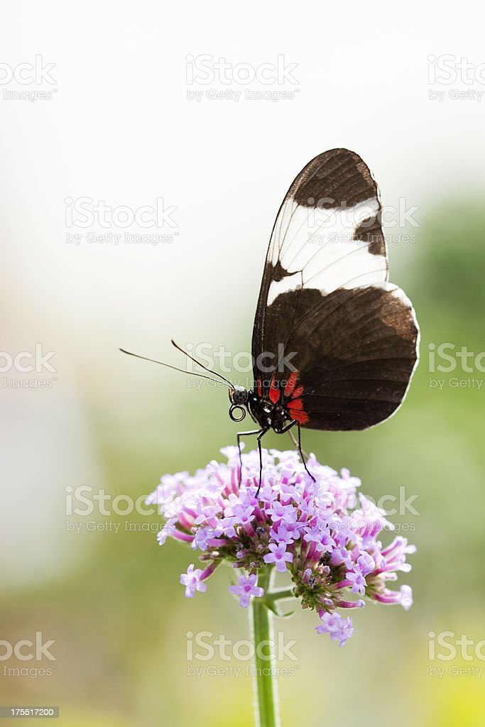 Passion Flower Butterfly stock photo