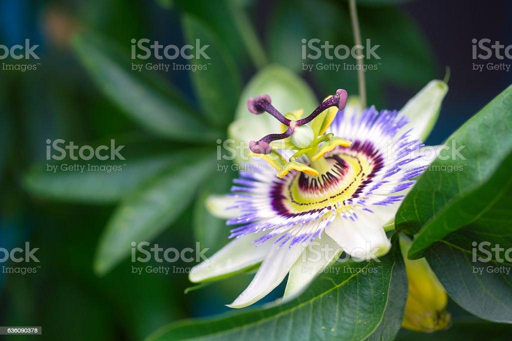 Passion flower closeup stock photo