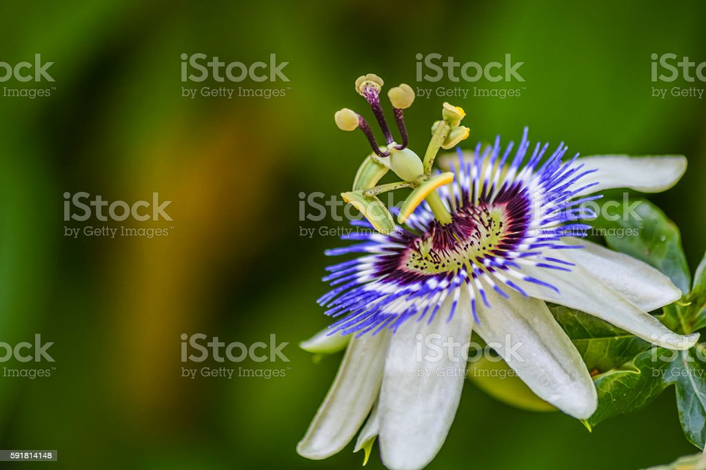 passion flower in bloom close up stock photo