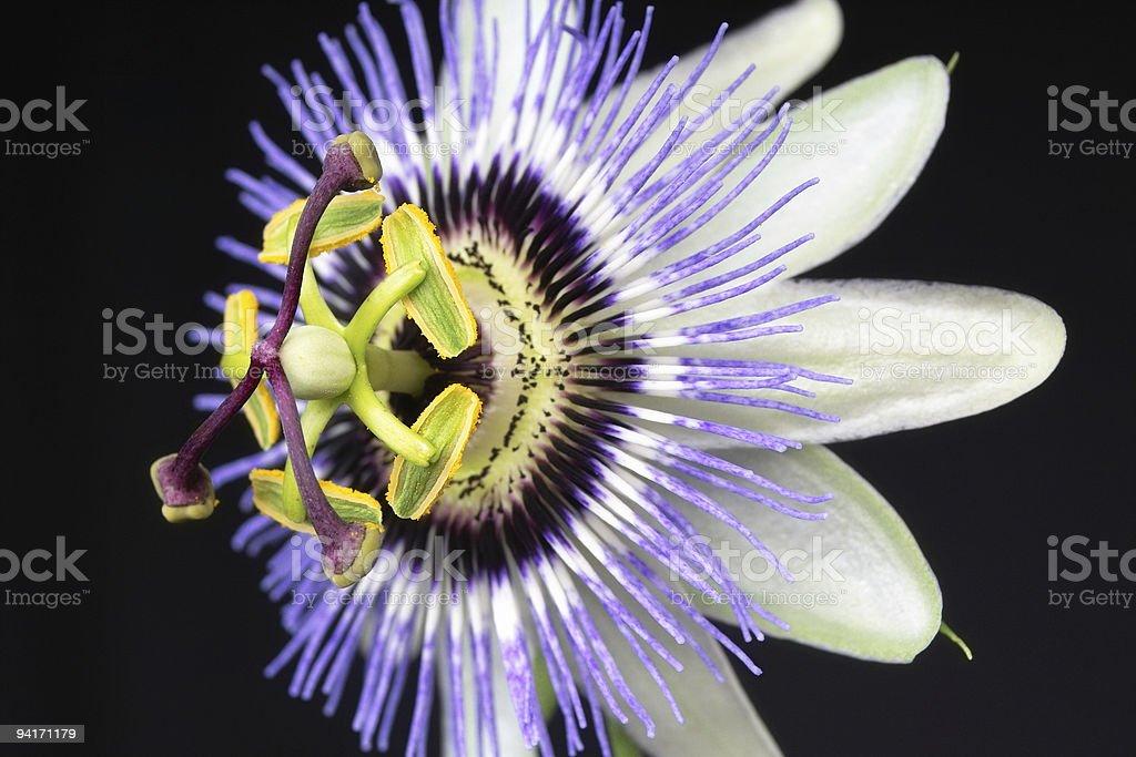 Passion Flower Macro royalty-free stock photo