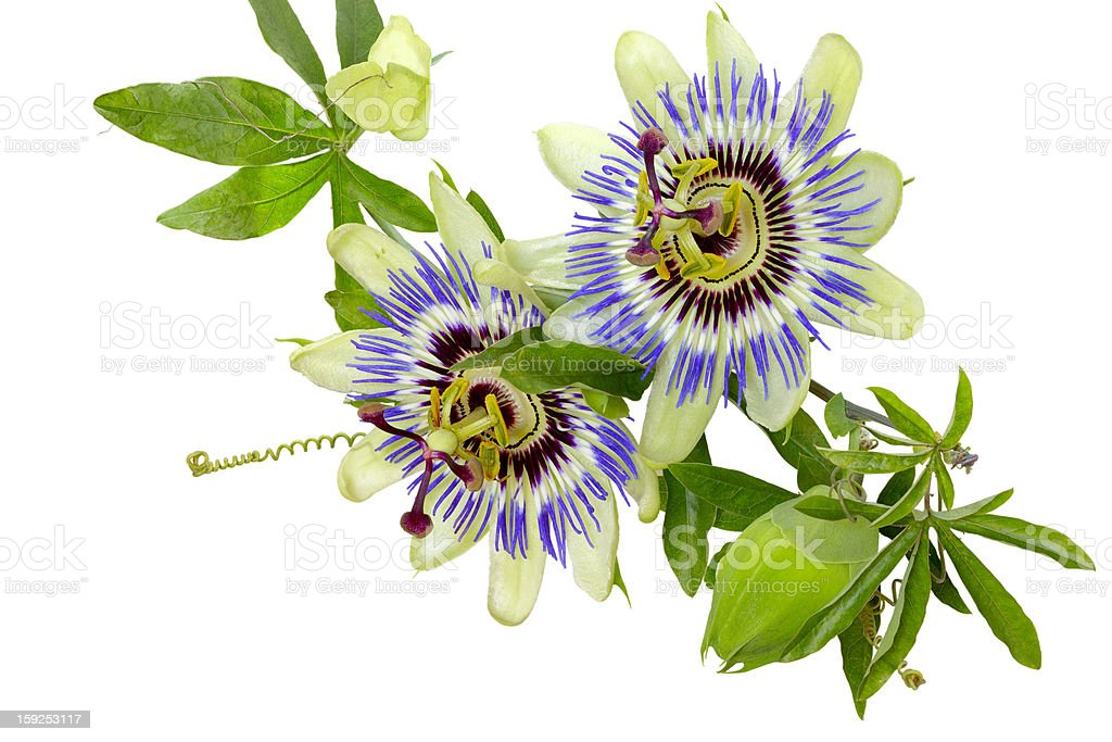 Passion flower (Passiflora) stock photo