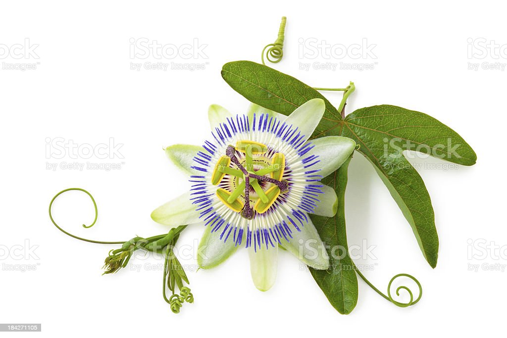 Passion Flower. stock photo