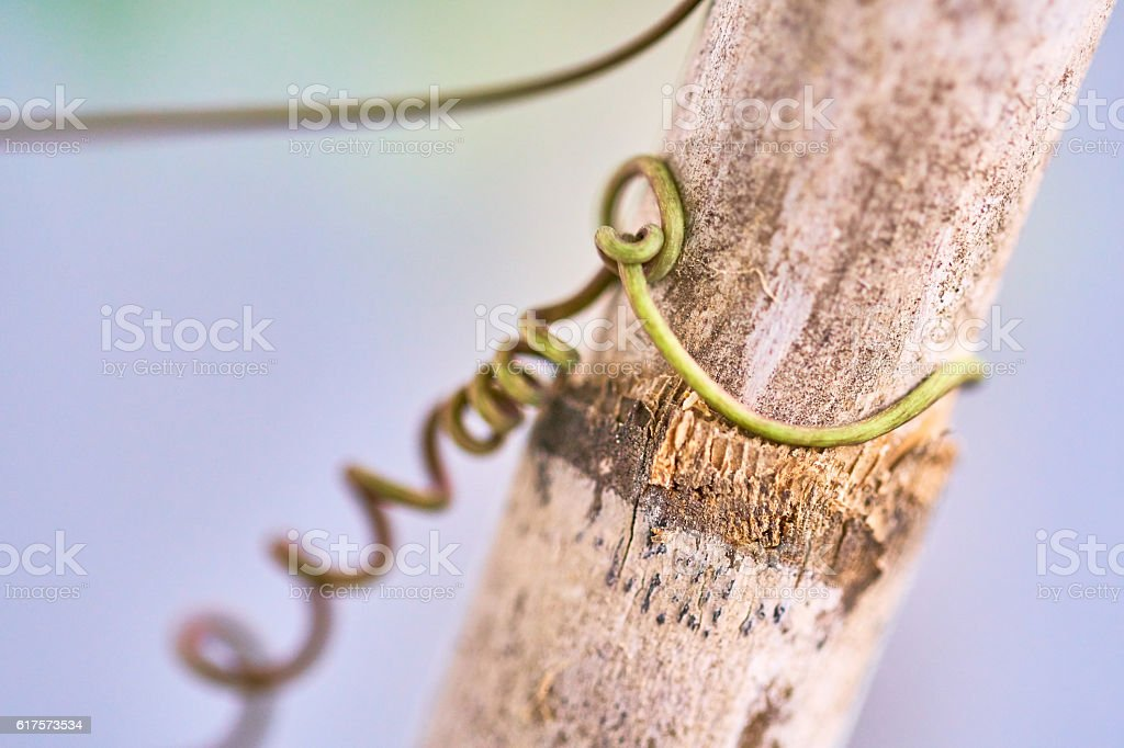 Passion flower tendril grabbing a cane stock photo