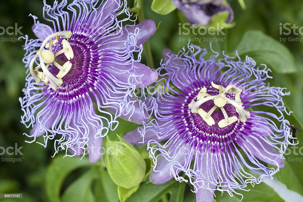 Passion Fruit Flowers stock photo