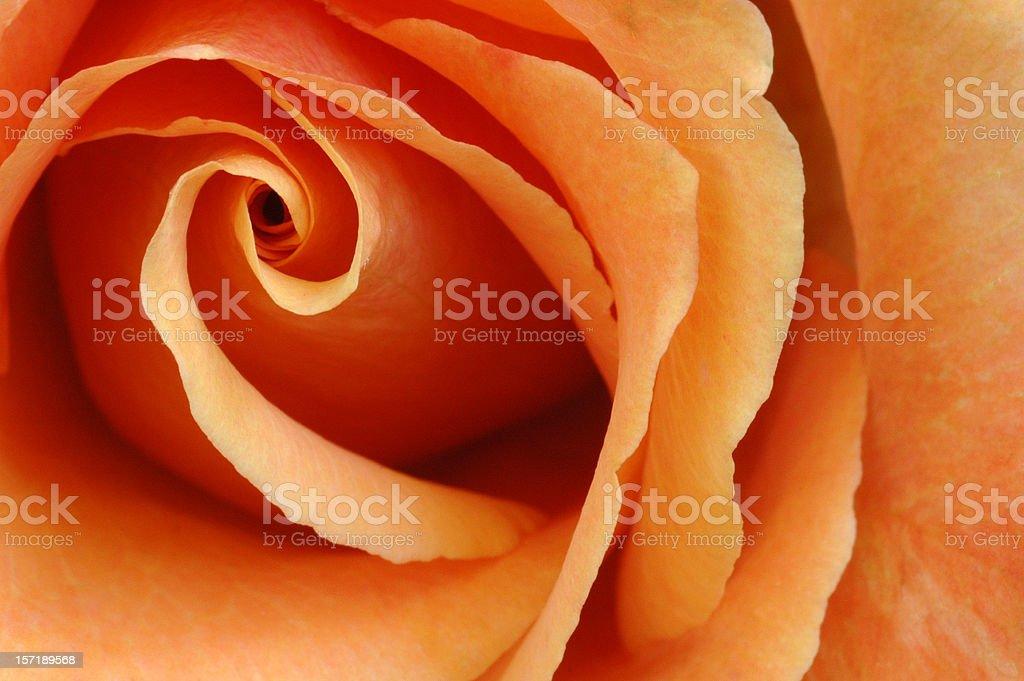 Passionate Orange Rose royalty-free stock photo