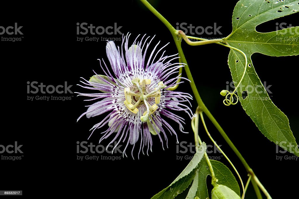 Passionflower isolated on black royalty-free stock photo