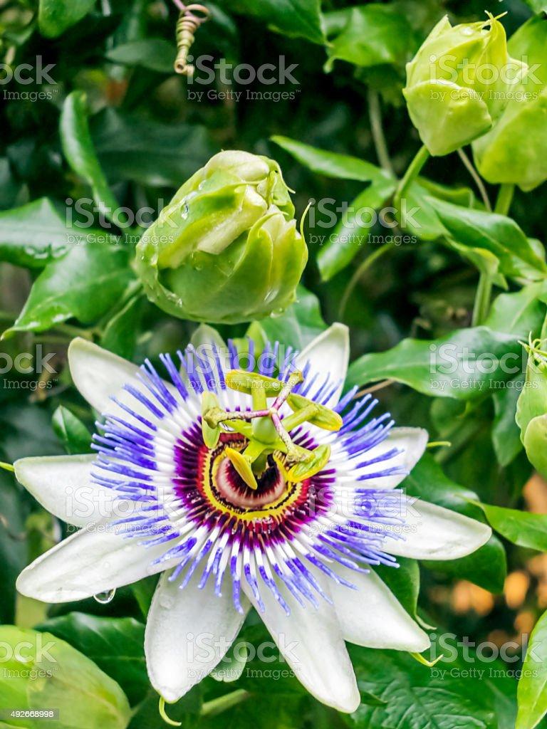 Passionflower stock photo