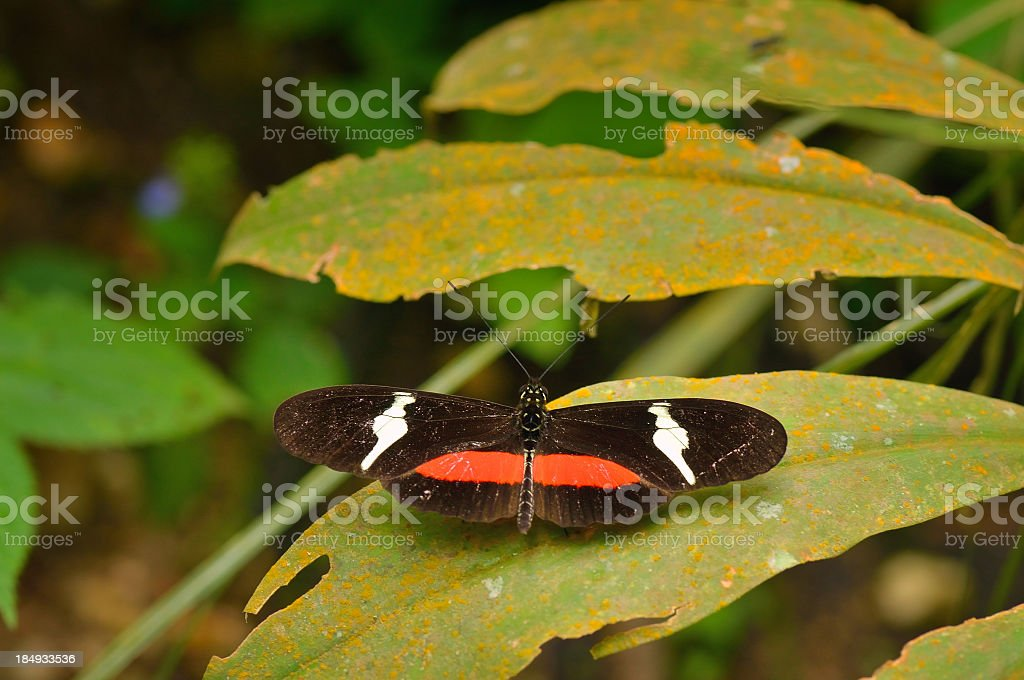 Passionvine Butterfly In Colombia stock photo