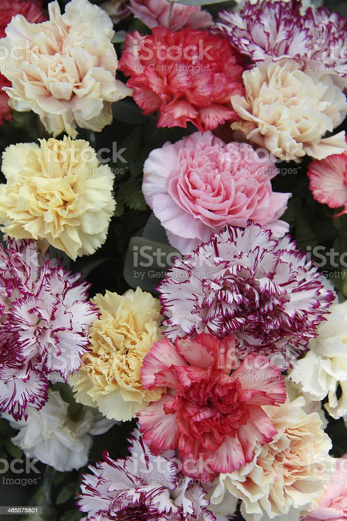 Pastel carnations royalty-free stock photo