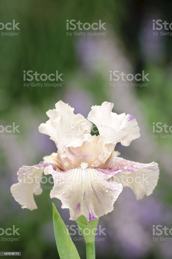 Pastel colored Iris with colorful background stock photo