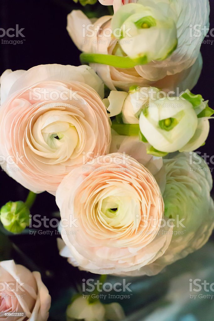 Pastel colored ranunkulus flowers stock photo