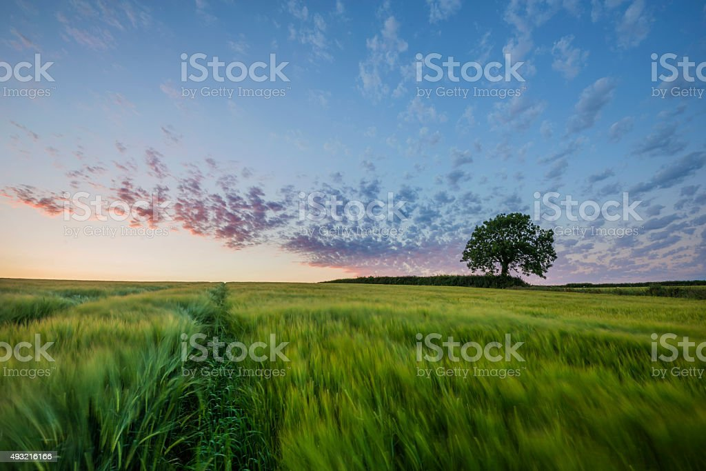 Pastel colours at sunset in barley fields , Cornwall, UK stock photo