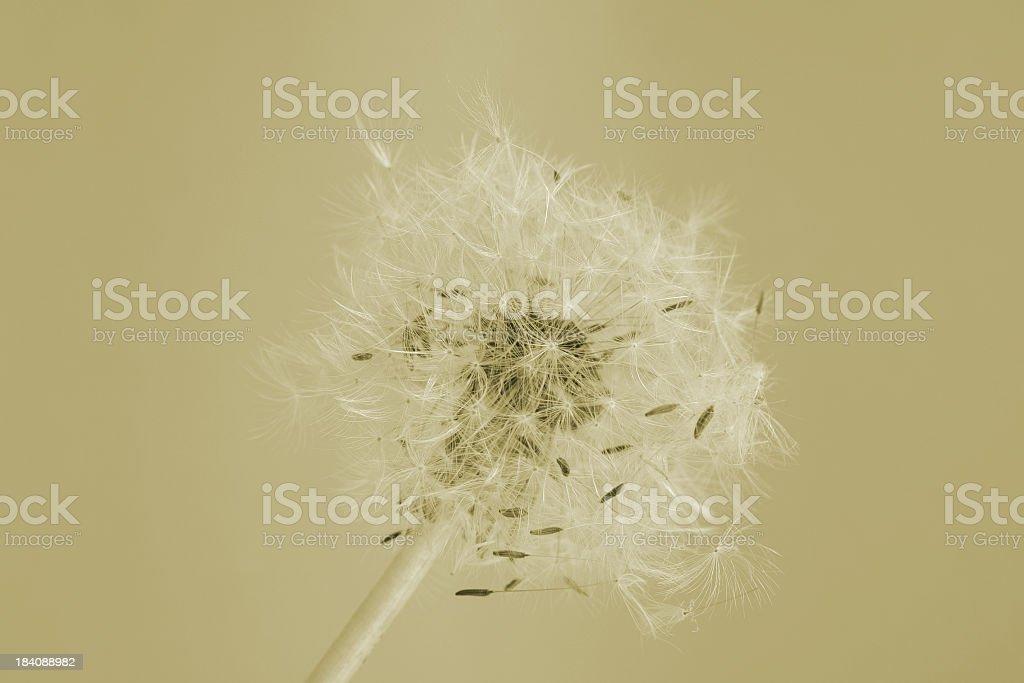 Pastel dandelion stock photo