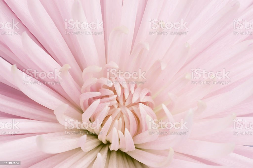 Pastel Pink Chrysanthemum, Close-up, Single Flower, Selective Focus royalty-free stock photo