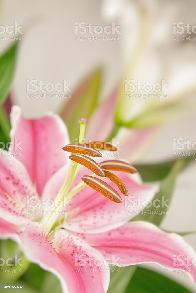 Pastel pink lily flower stock photo