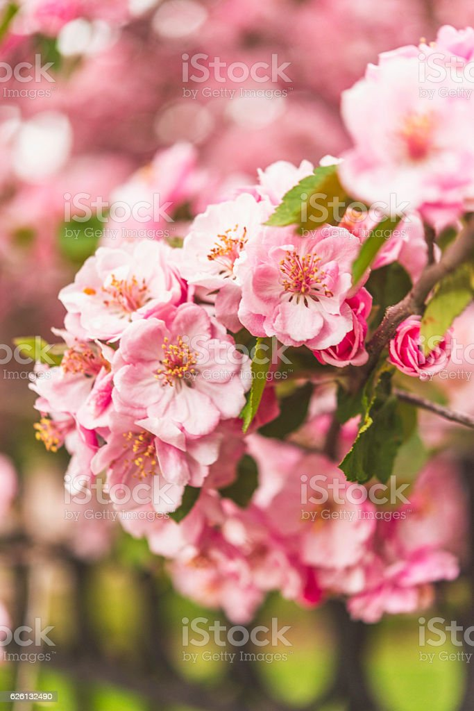 Pastel pink spring blossoms on tree branches stock photo