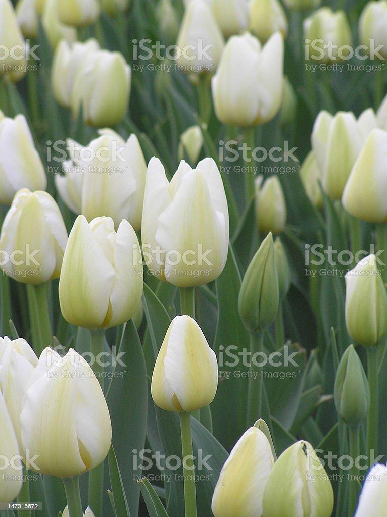 pastel tulip field stock photo