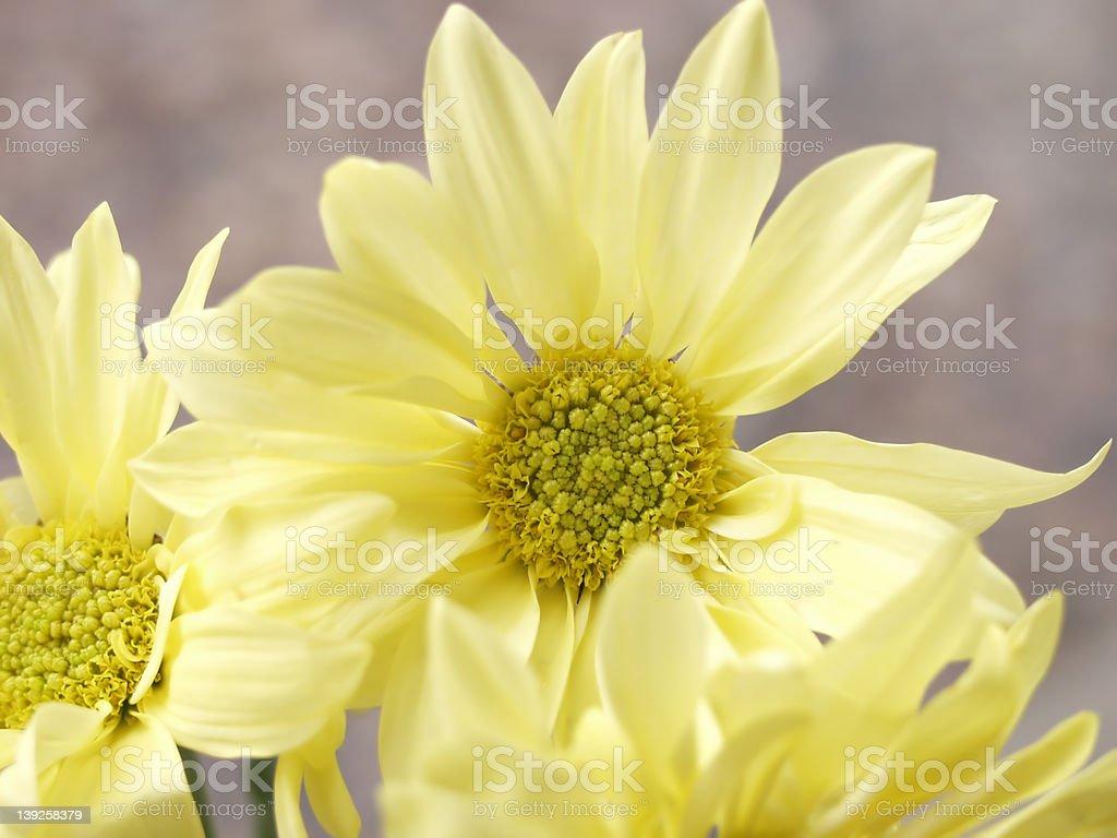 Pastel Yellow Daisies royalty-free stock photo