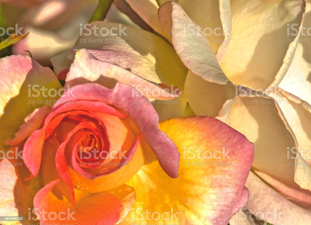 pastel-colored rose with leaves stock photo