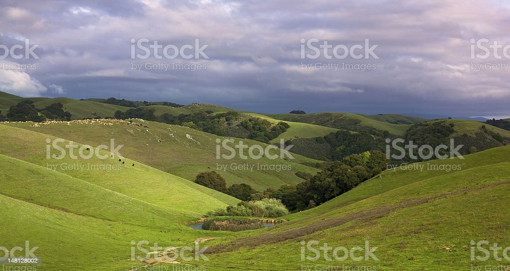 Pastoral hillside with cattle in spring stock photo
