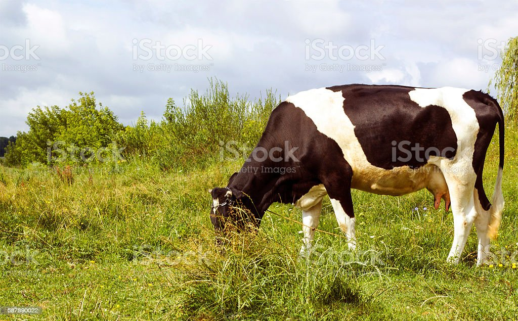 Pastoral scene black and white cow grazing in meadow stock photo
