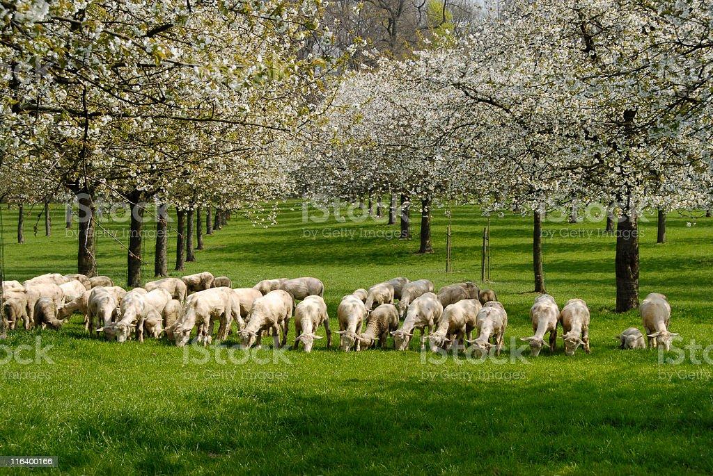 Pastoral scene royalty-free stock photo