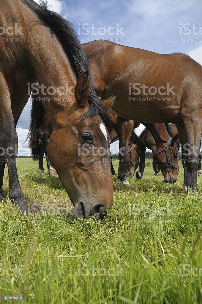 pasturage of horses stock photo