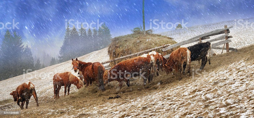 Pasture in a blizzard stock photo