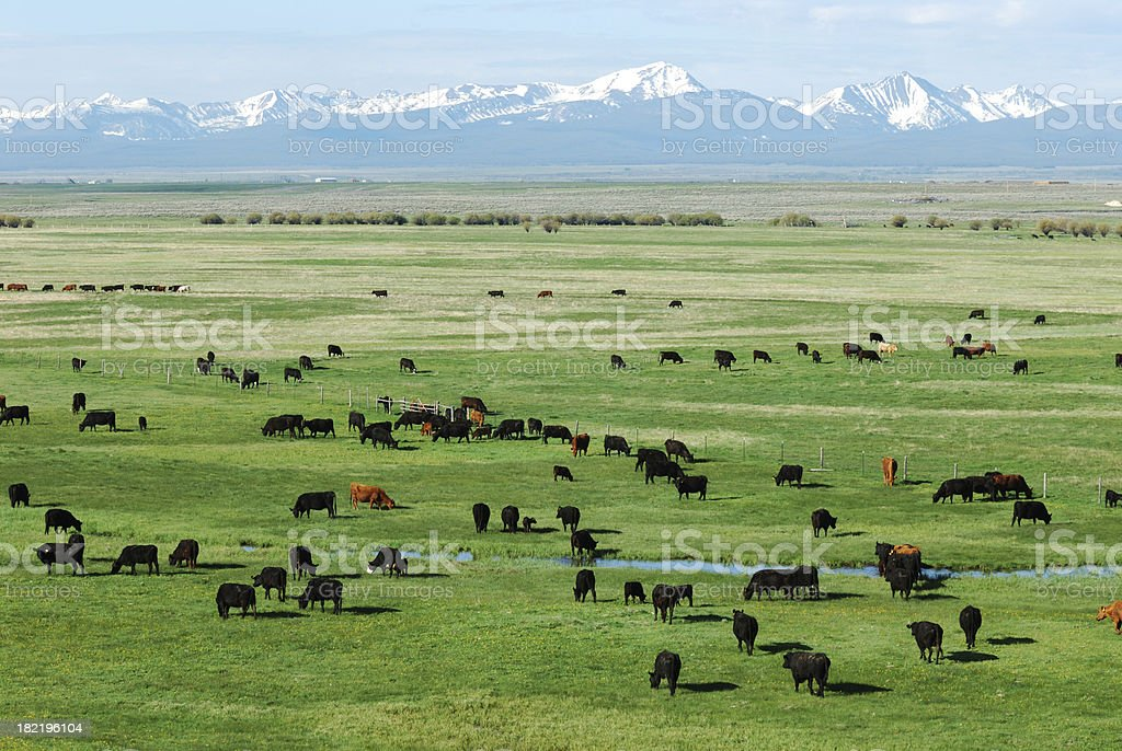 Pasture, Mountains and Cattle royalty-free stock photo