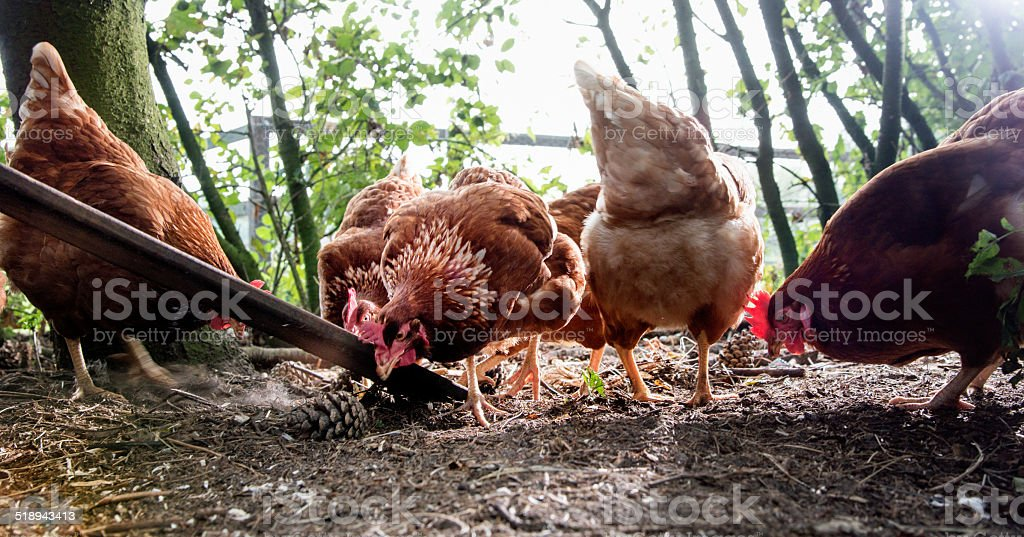 Pasture raised chickens feeding stock photo
