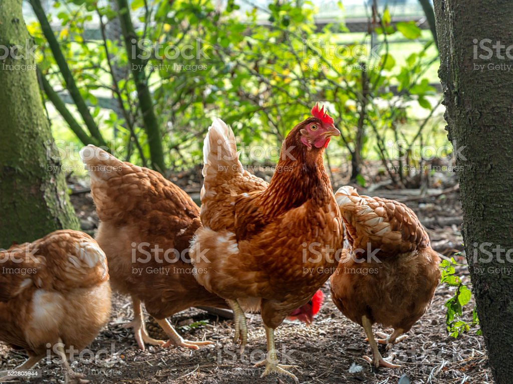 Pasture raised chickens stock photo