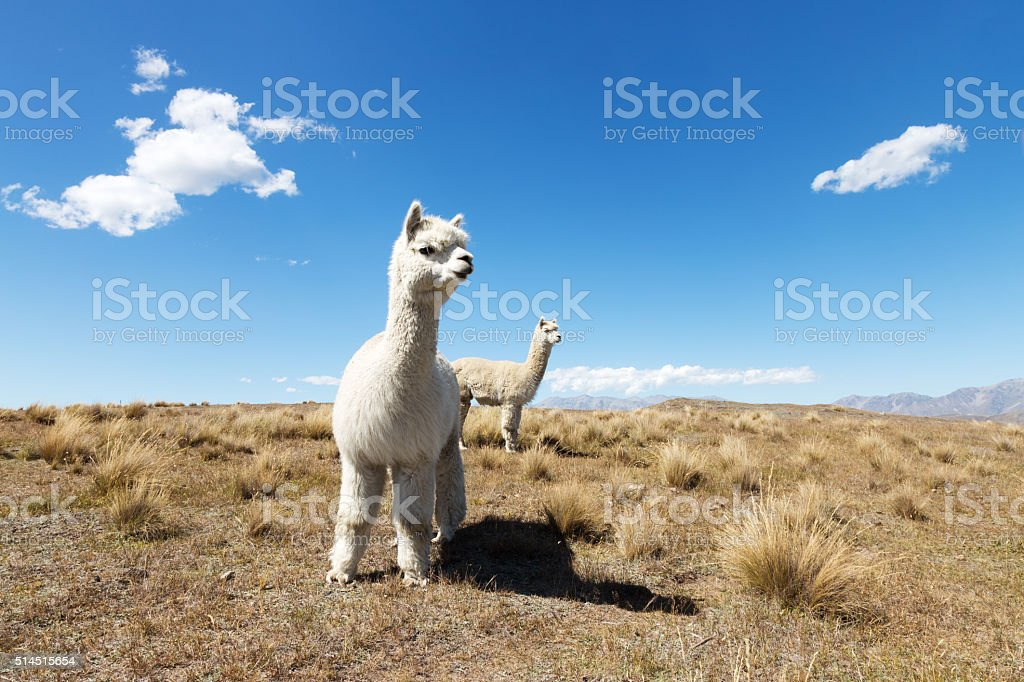 pasture with animals in summer sunny day in New Zealand stock photo