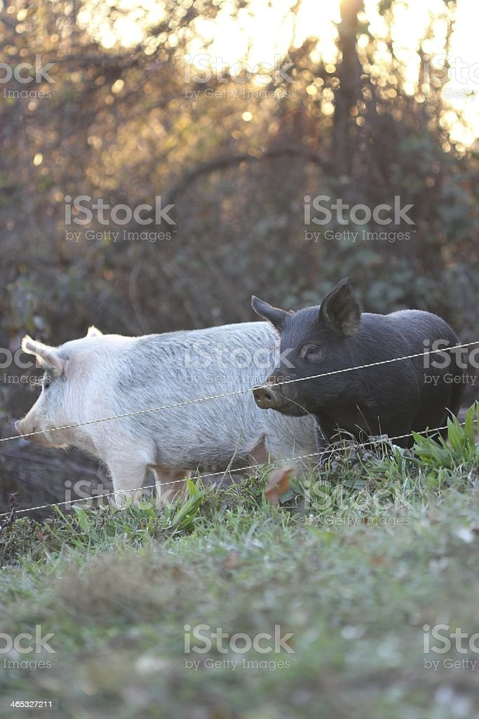 Pastured pigs at sunset stock photo