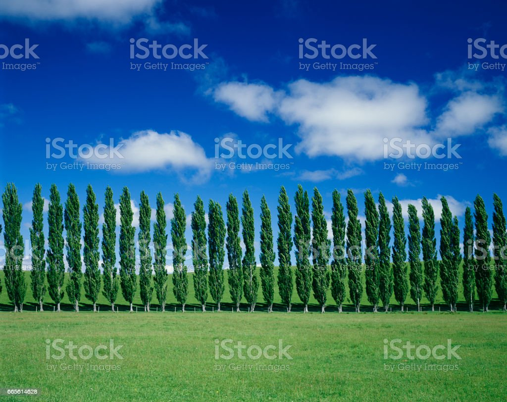 Pastures and poplar trees stock photo