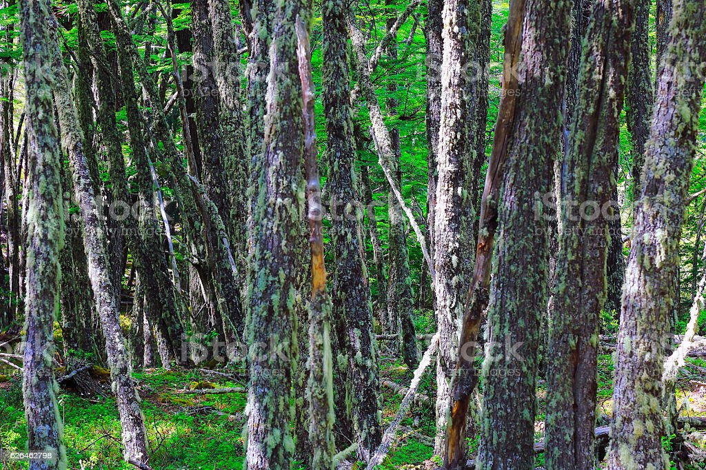 Patagonia landscape: Forest trees, green woodland, Torres del Paine, Chile stock photo