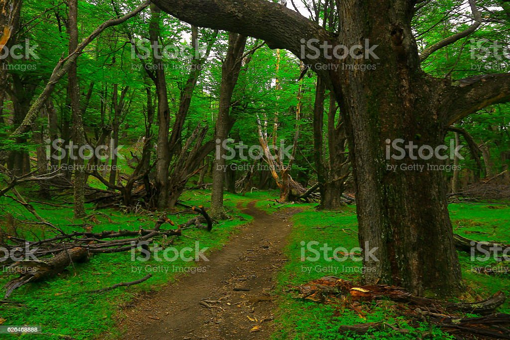 Patagonia landscape: Forest trees, trail into green woodland stock photo