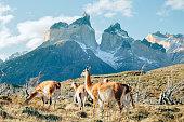 Patagonian Guanaco
